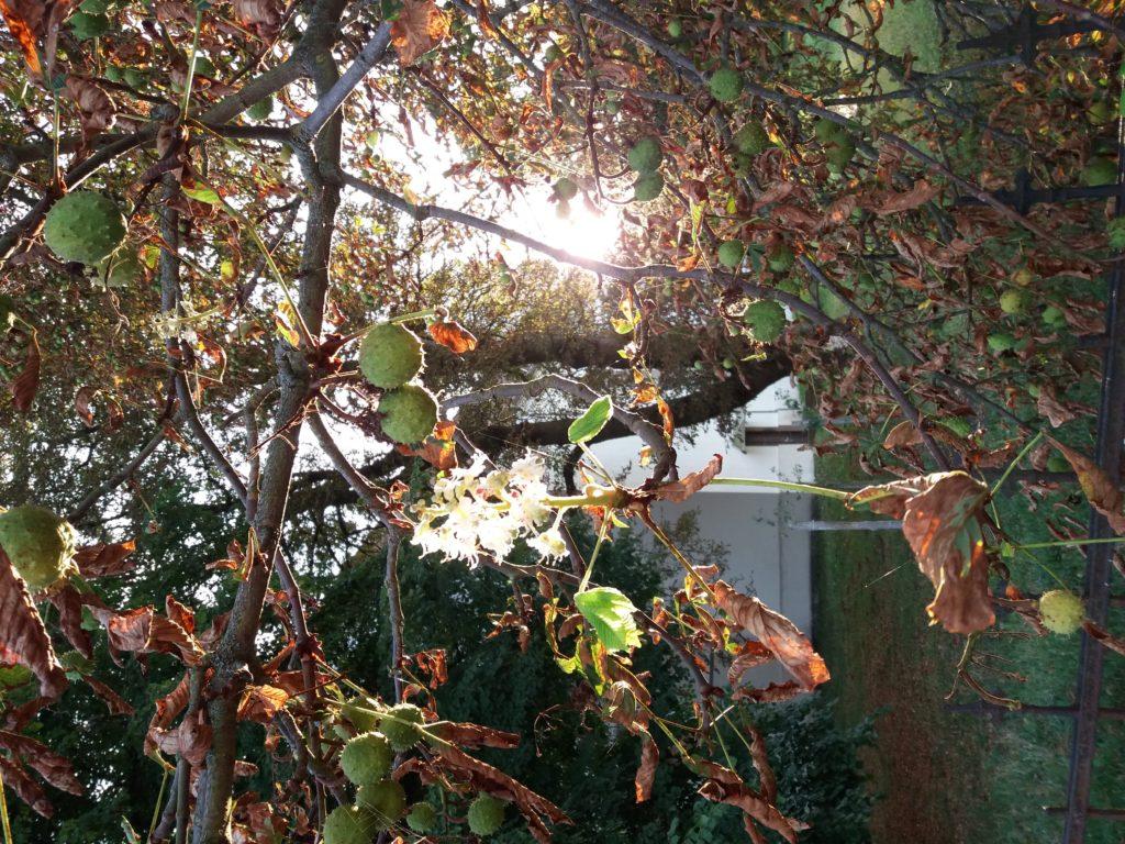 Kastanienblüte oder -ernte?! von Katrin Gerhardi, Foto aus Friesack