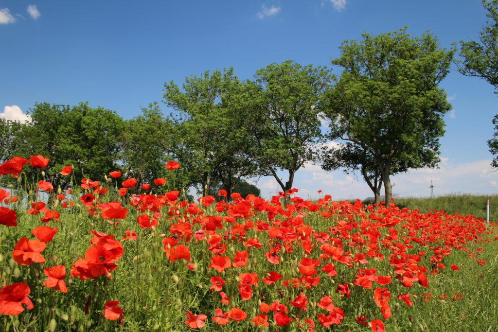 Mohnblumen von Detlef Schwarz, Foto aus Friesack