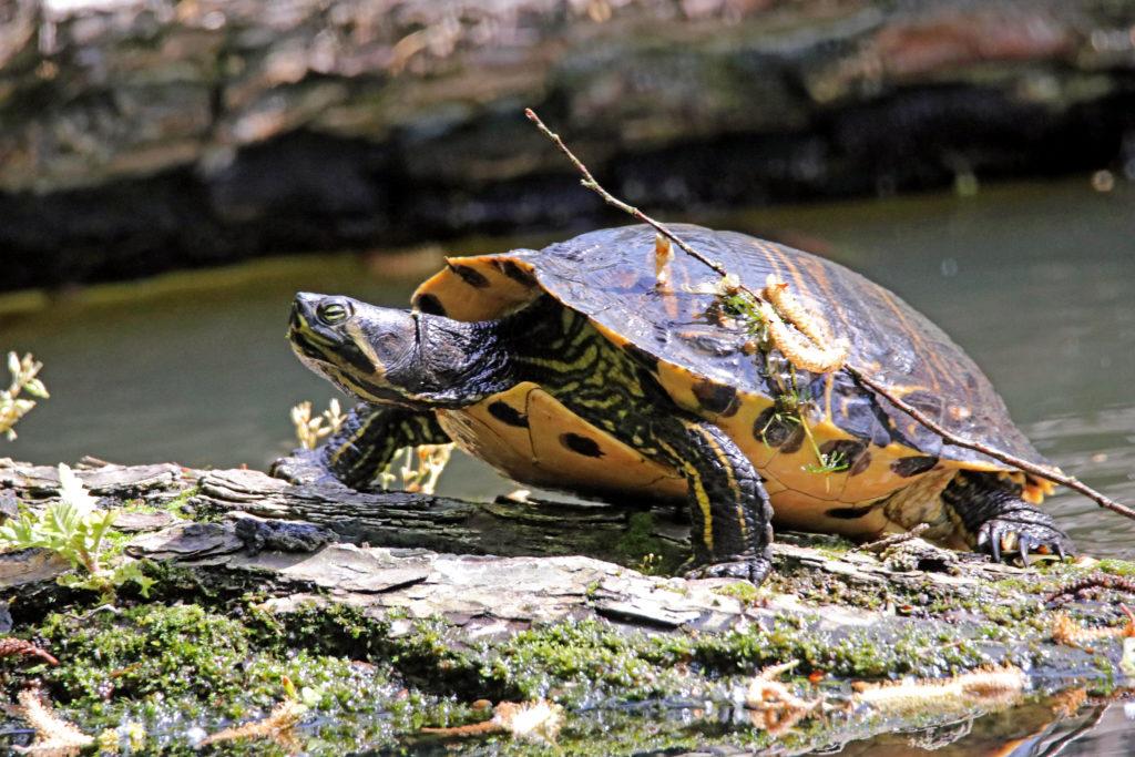 Fliederfest Gelbbauch-Schmuckschildkröte von Detlef Schwarz, Foto aus Friesack