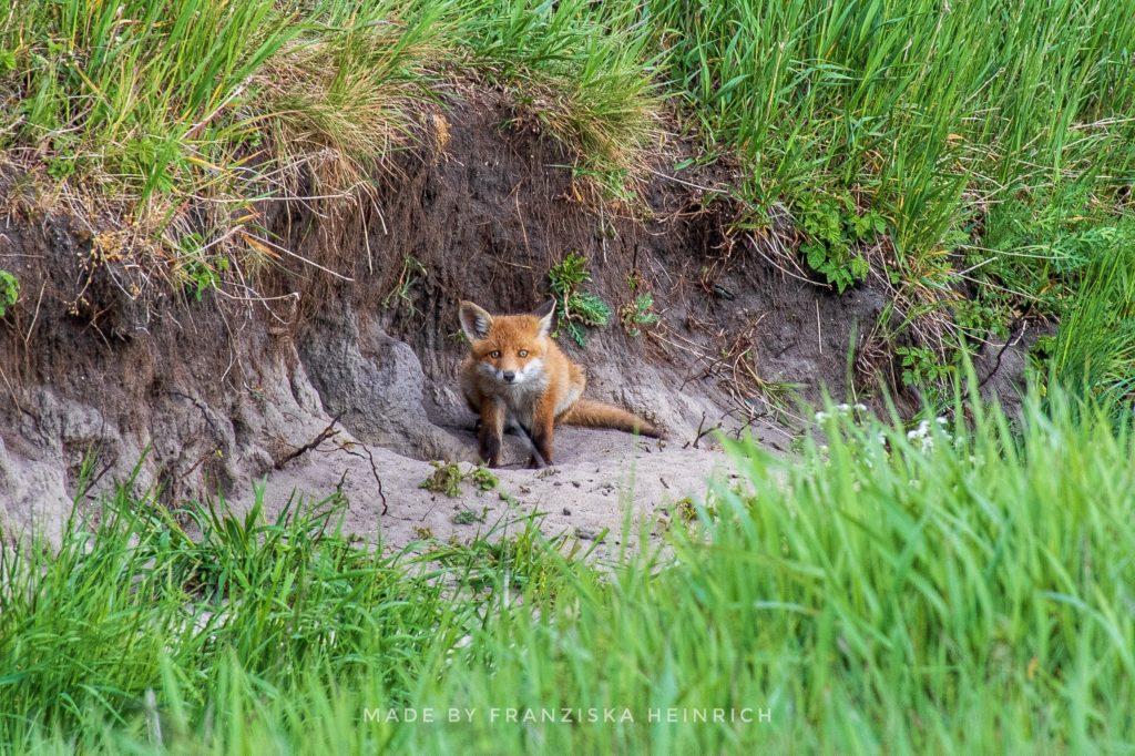 Fliederfest An dem Füchselein siehst du schon, dass er eines Fuchses Sohn. von Franziska Heinrich, Foto aus Friesack