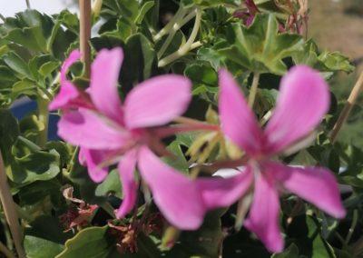Fliederfest Sommerblüte von Inga Netzke, Foto aus Friesack