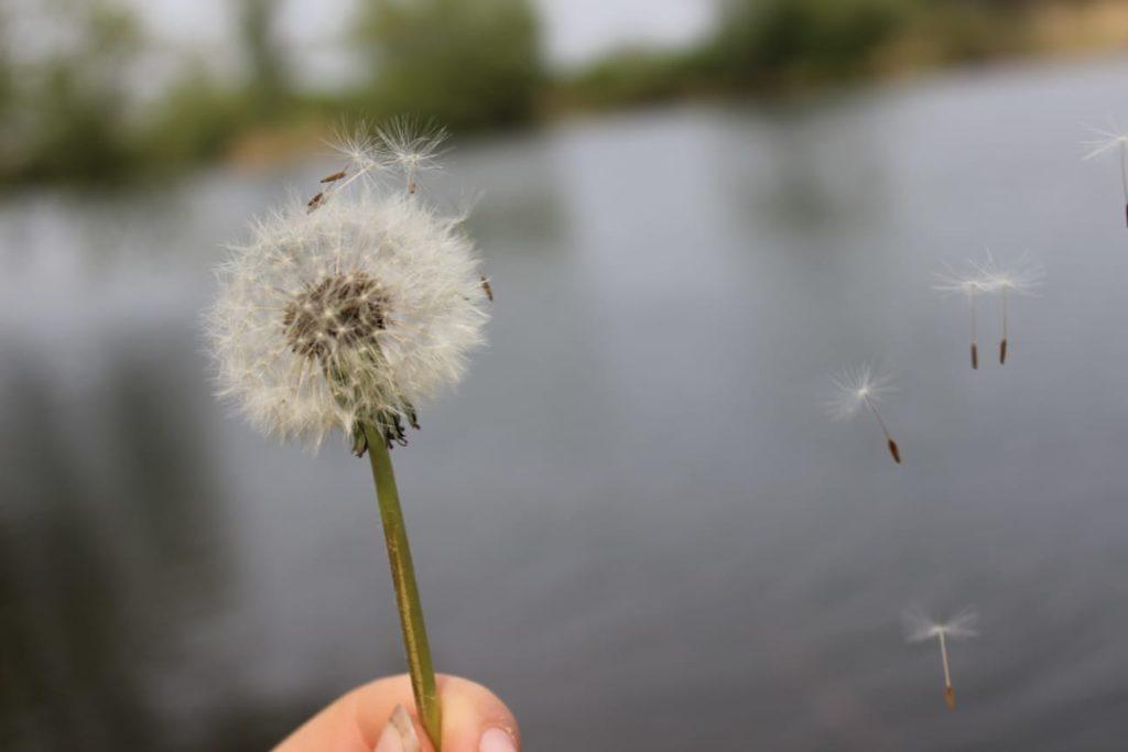 Fliederfest Das Leben ist wie eine Pusteblume, wenn die Zeit gekommen ist muss jeder alleine weiter fliegen. von Jasmin behm, Foto aus Friesack