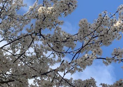 Fliederfest Mirabellenblüte in Friesack von Nancy Möller, Foto aus Friesack