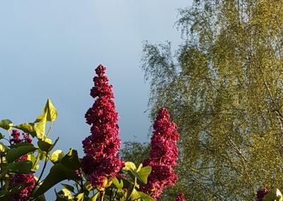 Fliederfest Flieder in der Sonne 😉 von Ulrike Kern, Foto aus Friesack